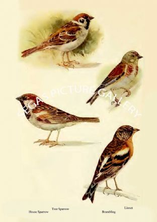 Tree Sparrow, House Sparrow, Linnet & Brambling